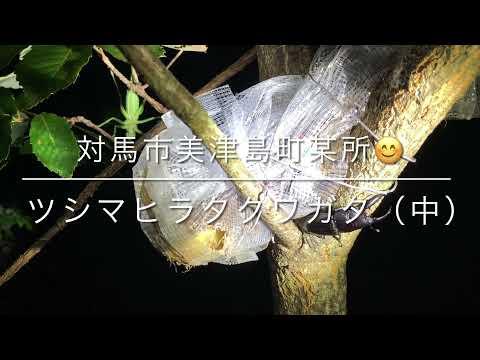 ツシマヒラタクワガタ・中サイズ(対馬市美津島町)