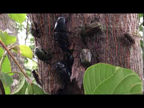 樹液に集まるクワガタ・カナブンなど(2020年7月長崎県対馬市)